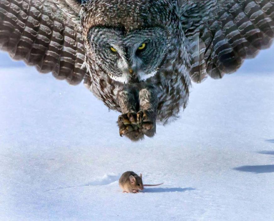 Un topolino tra le grinfie del gufo.
