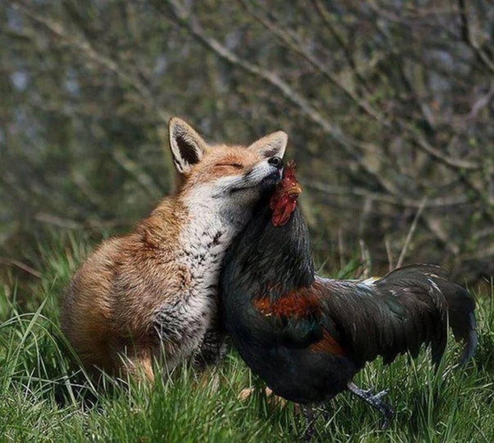 volpe e link di pollo