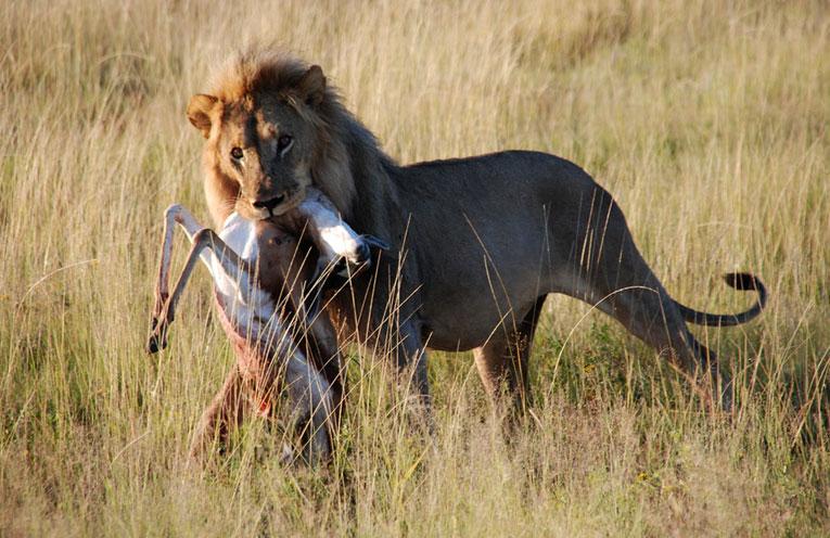 Risultati immagini per la gazzella e il leone