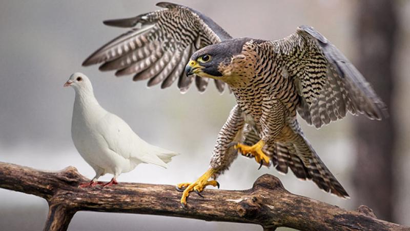 Risultati immagini per falco e colomba