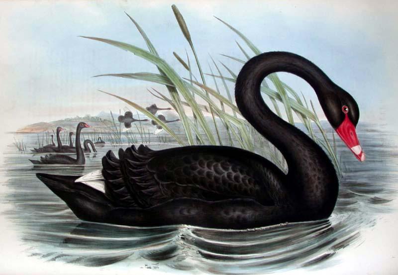 black-swan-cigno-nero